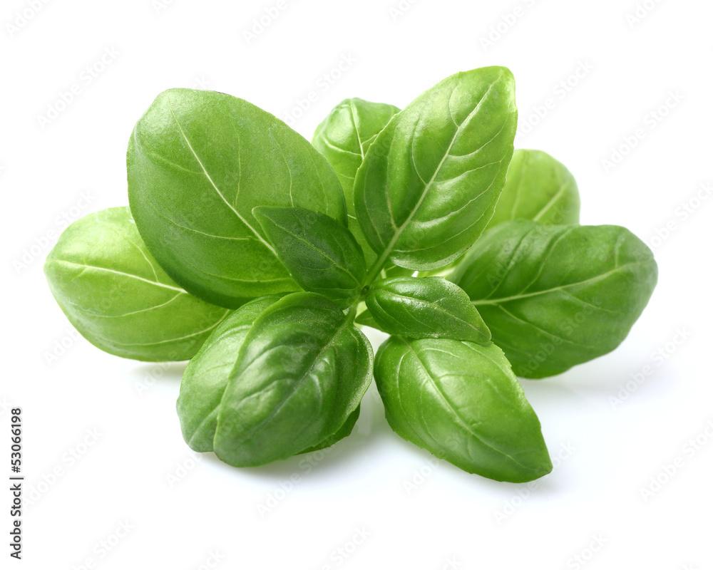 Fototapety, obrazy: Basil leaves in closeup