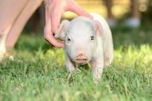 Weiner Pig