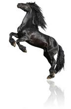 Black Stallion Isolated On White