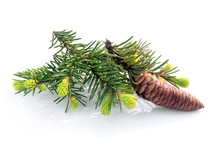 Fir Branch With Cone