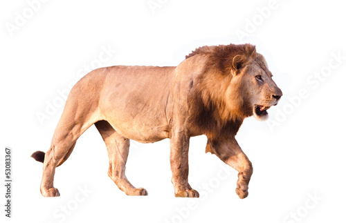 Fotobehang Leeuw Lion Isolated on white