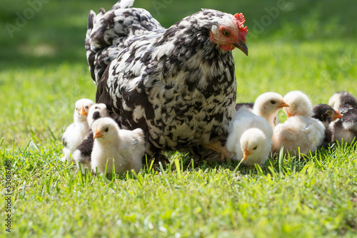 Photo hen with chicks