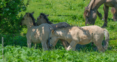 Foals in a sunny meadow in spring