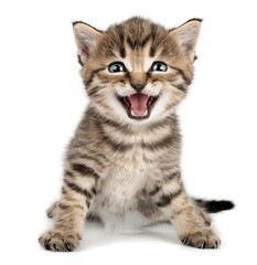 Fototapeta Zwierzęta beautiful cute little kitten meowing and smiling