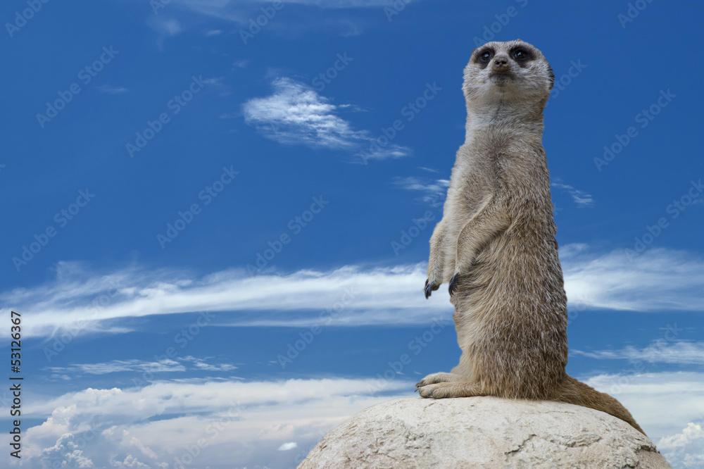 Foto-Kissen - Isolated meerkat looking at you