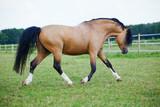 Welsh Cob Pony geht über die Weide