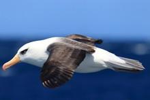 Albatross (Thalassarche Melano...