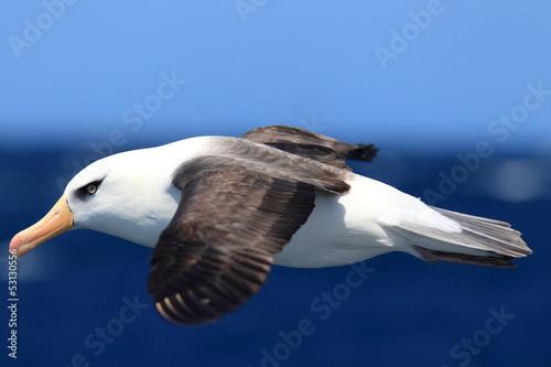 Valokuvatapetti Albatross (Thalassarche melanophris impavida)
