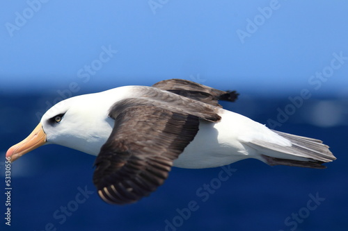 Fotografia, Obraz  Albatross (Thalassarche melanophris impavida)