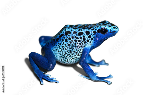 Photo sur Aluminium Grenouille Poison frog