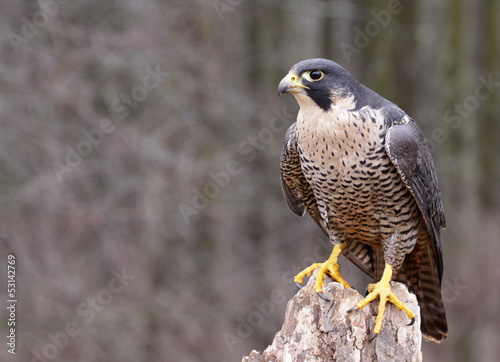 Photo Perched Peregrine Falcon (Falco peregrinus)