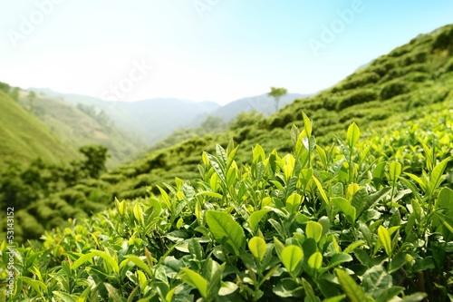 Fotografía Tea Plantations