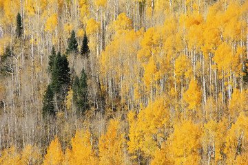 Fototapeta Las Aspen trees with fall color, San Juan National Forest, Colorado