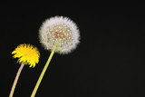 Dandelions on black background