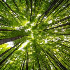 Panel Szklany Optyczne powiększenie big beech trees in spring time