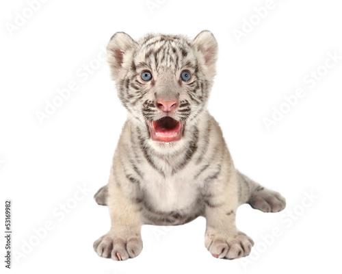 In de dag Tijger baby white tiger