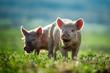 Leinwanddruck Bild - Happy piglets eat grass