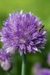 ape su fiore di erba cipollina macro