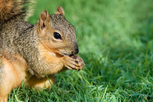 Young Fox Squirrel (Sciurus Niger) Eating Bird Seeds
