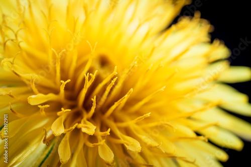 Yellow dandelion flower on black, shallow depth of field.