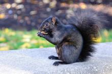 Black Squirrel Eating A Peanut