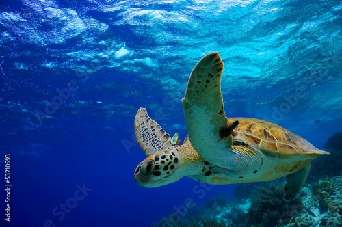 Staande foto Koraalriffen Green Sea Turtle swimming along tropical reef