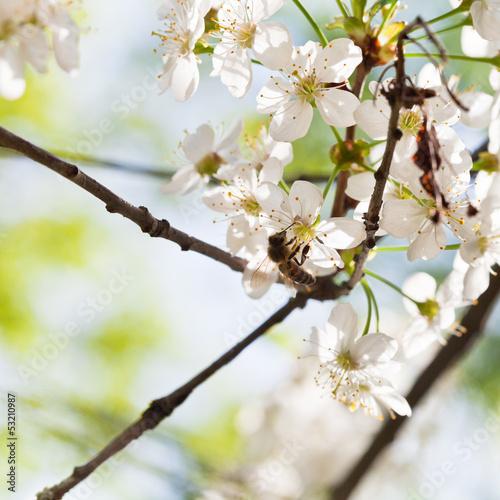 pszczola-miodna-na-kwiatach-wisni