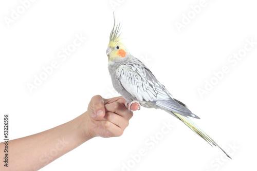 Valokuva  Profile of a woman hand holding a beautiful cockatiel bird