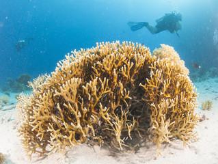 Naklejka na ściany i meble Diver on tropical coral reef