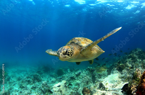 Poster Schildpad Green sea turtle swimming underwater