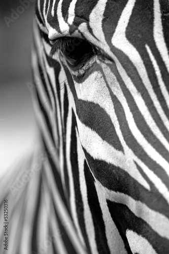 Photo Stands Zebra Monochromatic zebra skin texture