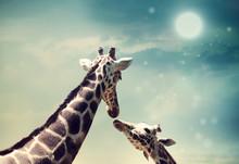 Giraffes In Friendship Or Love...