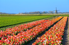 Colorful Tulips On Field By Dutch Windmill