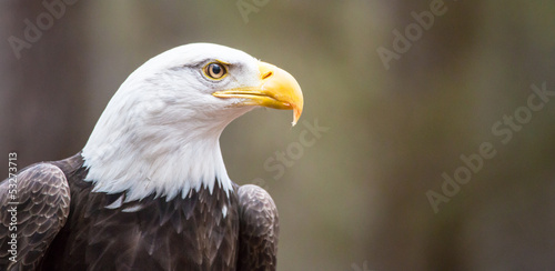 Acrylic Prints Eagle Majestic Bald Eagle