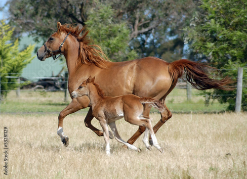 Photo  Australian Stock Horses.