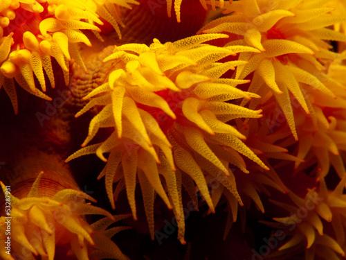 Orange Cup Coral - Tubastraea coccinea