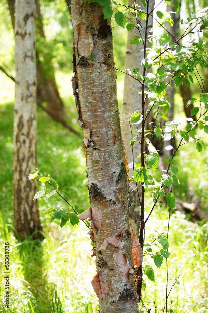 Birches at summer.