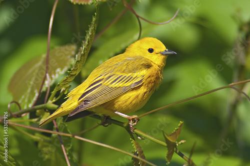Photo Yellow Warbler