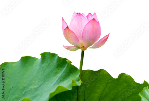 Foto op Aluminium Lotusbloem isolated pink lotus