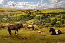 Exmoor Wild Ponies