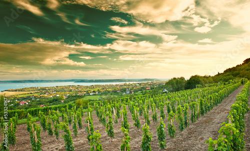 Fotografia  Nice vineyard in Hungary