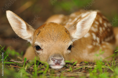 Just born young fallow deer Wallpaper Mural