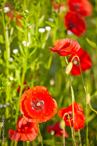 Field of  Poppy Flowers Papaver rhoeas in Spring - 53347150