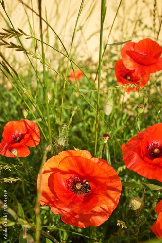 Field of  Poppy Flowers Papaver rhoeas in Spring - 53347379