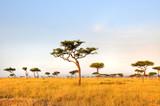 Fototapeta Sawanna - Acacia Tree
