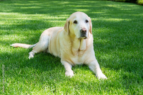 Obedient Labrador Retriever Poster