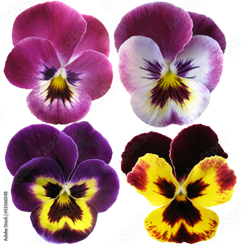 Poster Pansies Pansies flowers on White background
