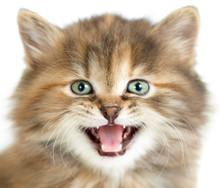 Meowing Cat Or Kitten Closeup ...