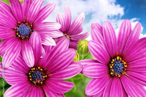 Flowers of Gazania against blue sky. (Splendens genus asteraceae - 53386948