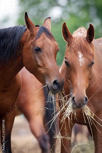 dwa-konie-je-siano